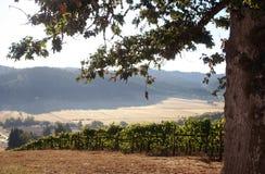 De Wijngaard van de ochtend Stock Foto's