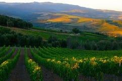 De wijngaard van de ochtend Royalty-vrije Stock Afbeelding