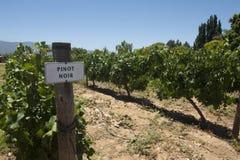 De wijngaard van de Pinot Noir Stock Foto's
