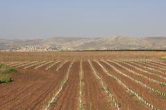 De Wijngaard van de Vallei van Ayalon Stock Foto