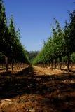 De wijngaard van de Vallei van Napa Royalty-vrije Stock Afbeeldingen