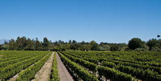 De Wijngaard van de wijn Royalty-vrije Stock Foto's