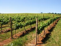 De Wijngaard van de wijn Stock Afbeelding