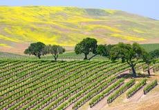 De Wijngaard van de wijn Stock Fotografie
