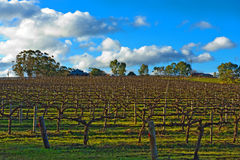De wijngaard van de winter Stock Foto