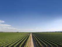 De wijngaard van de zomer Royalty-vrije Stock Foto