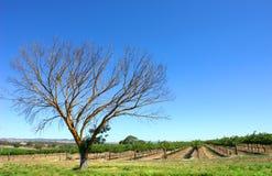 De Wijngaard van de zomer royalty-vrije stock afbeelding