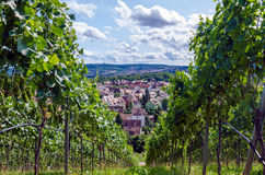 De wijngaard van de zomer Royalty-vrije Stock Foto's
