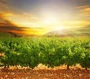 De Wijngaard van de zonsondergang Stock Foto's