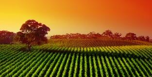 De Wijngaard van de zonsondergang Stock Foto