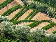 De wijngaard van Douro Stock Foto