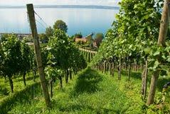 De wijngaard van het Meer van Konstanz stock foto