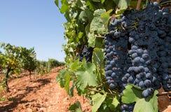 De wijngaard van Mallorca royalty-vrije stock afbeeldingen