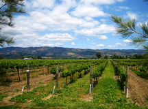 De Wijngaard van Napa Stock Fotografie