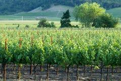 De wijngaard van Napa bij zonsondergang Stock Foto