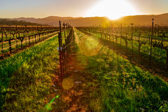 De Wijngaard van Napa Royalty-vrije Stock Foto's