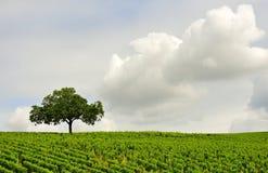 De wijngaard van Sancerre Stock Foto