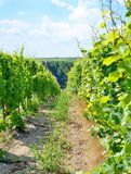 De wijngaard van Sobesmoravian Stock Afbeelding