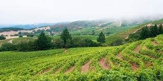 De Wijngaard van Sonoma met Mistige Horizon Stock Foto