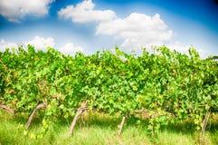 De wijngaard van Toscanië Stock Fotografie