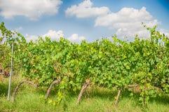 De wijngaard van Toscanië Royalty-vrije Stock Foto