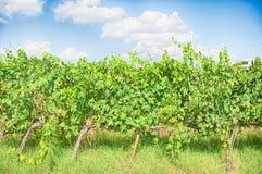 De wijngaard van Toscanië Stock Afbeelding