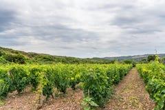 De wijngaarden Stock Foto's
