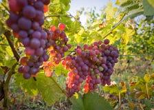 De wijngaarden bij de herfst. Stock Foto's