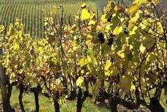 De wijngaarden van de Beaujolais (Frankrijk) royalty-vrije stock afbeeldingen
