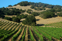 De Wijngaarden van de druif Royalty-vrije Stock Foto