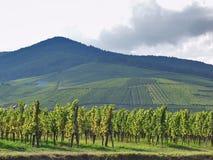 De wijngaarden van de Elzas. Frankrijk. Stock Foto