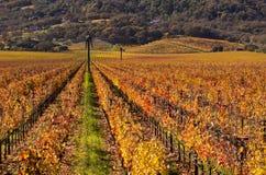 De Wijngaarden van de Vallei van Napa in Daling stock fotografie