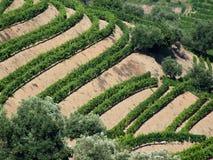 De wijngaarden van Douro Stock Afbeelding
