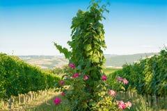 De wijngaarden van Montalcino, wijn, Siena, Toscanië Stock Foto