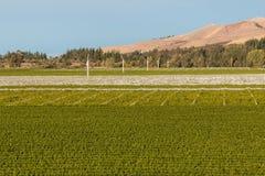De wijngaarden van Nieuw Zeeland in de zomer Stock Foto