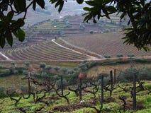 De wijngaardenlandschap van de winter Royalty-vrije Stock Afbeeldingen