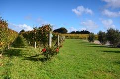 De Wijnmakerij Soljans van het wijngaardenlandgoed auckland Ergens in Nieuw Zeeland Stock Afbeeldingen