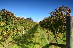 De Wijnmakerij Soljans van het wijngaardenlandgoed auckland Ergens in Nieuw Zeeland Royalty-vrije Stock Foto's