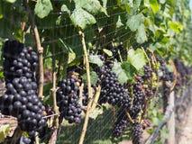 De Wijnmakerijen en de Wijngaarden van Long Island royalty-vrije stock foto