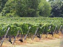 De Wijnmakerijen en de Wijngaarden van Long Island royalty-vrije stock afbeelding