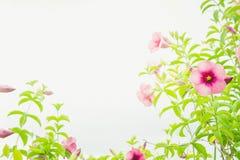 De wijnoogst van de bloemeninstallatie roze bloemen in het tuin en exemplaarkuuroord Stock Foto