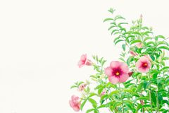 De wijnoogst van de bloemeninstallatie roze bloemen in het tuin en exemplaarkuuroord Royalty-vrije Stock Afbeeldingen