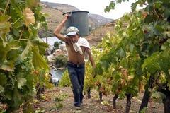De wijnoogst van Douro Stock Foto's