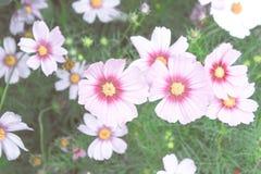 De wijnoogst van kosmosbloemen, bloementuin, roze aardbloemen Stock Afbeelding