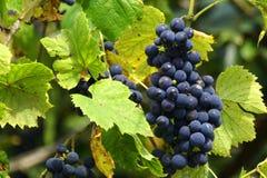 De wijnstok Stock Afbeeldingen