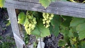 de Wijnstok dichtbij het huis, rijpe bossen van druiven Royalty-vrije Stock Afbeelding