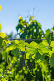 De wijnstok doorbladert bij Wijngaard in Mendoza Stock Afbeelding