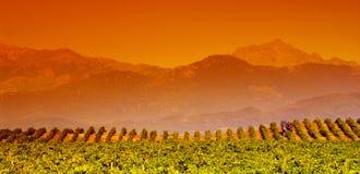 De wijnstok van Corsica Royalty-vrije Stock Foto