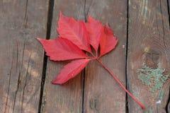 De wijnstok van de herfstbladeren Stock Fotografie