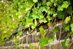 De wijnstok van de klimop op muur Stock Foto